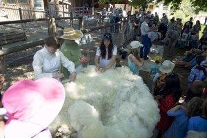 People touching freshly shorn sheep wool, watching sheep shearing, sheep in pen