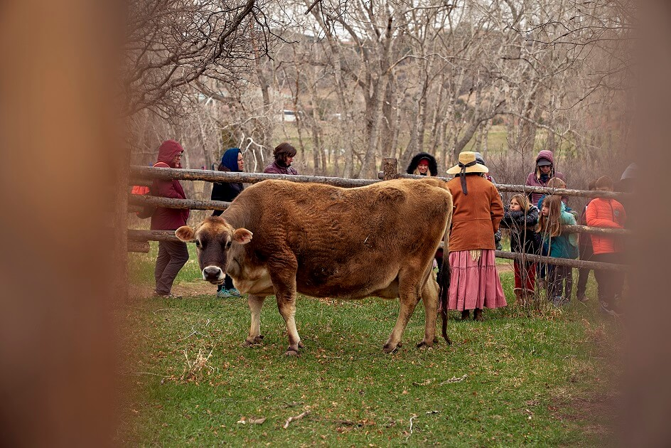 Jersey Cow with historic interpreter, surrounded by school children