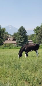 Draft horse in front of garden and view of Pikes Peak